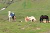 Icelandic_Horse_Mother_Foal_2016_0456