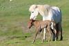 Icelandic_Horse_Mother_Foal_2016_0480