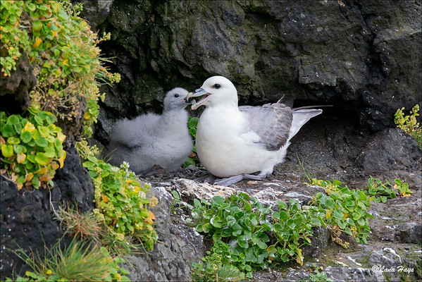 Northern Fulmar with chick