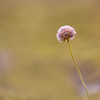 Armeria maritima (Lady's cushion) in Landmannalaugar