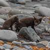 Arctic Fox Vixen and Kit
