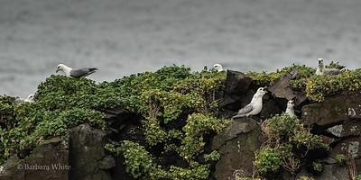 Fulmars Guarding Their Nest