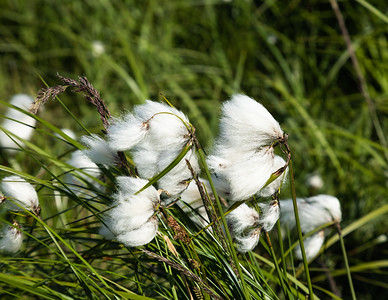 Scheuchzer's cottongrass (Eriophorum scheuchzeri) is a species of flowering plant in the sedge family.  It has a arctic circumpolar and circumboreal distribution in the Northern Hemisphere. It can be found in Alaska, across Canada, in the Arctic islands, Greenland, Iceland, and across Eurasia.