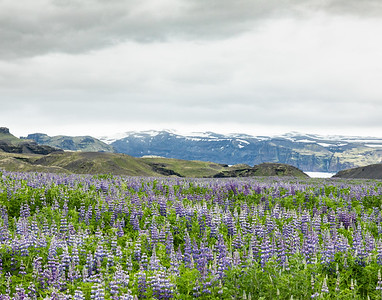 A lupine filled valley on the Ring Road near Skógar, Iceland, a small village with a population of approximately 25 located to the south of the Eyjafjallajökull glacier (in background).  Nootka Lupine (Lupinus nootkatensis), a member of the pea family, is native to Alaska and British Columbia.   This  lupine species arrived in Iceland in 1945 in a suitcase intended for ornamental landscaping use. Today, it is considered a out-of-control nuisance in Iceland given its rapid growth in lava-based soil.
