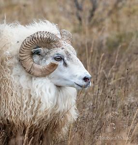 Ornery Ram