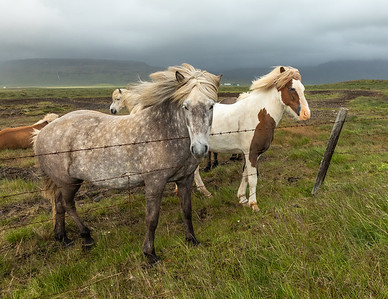 Icelandic horses on the  Snæfellsnes peninsula in western Iceland.