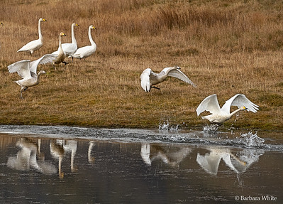 Whooper Swans Taking Off