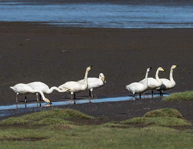 A bevy of whooper swans (Cygnus cygnus), pronounced 'hooper' swans.  This species is a large Northern Hemisphere swan -  the Eurasian counterpart of the North American trumpeter swan (Cygnus buccinator).  Whooper swans pair for life, and their cygnets stay with them all winter; they are sometimes joined by offspring from previous years. Their body length ranges between 55-65 inches with a wingspan between 81-108 inches. Adult males weight range 22-25 lbs and females 18-20 lbs.  The International Union for the Conservation of Nature and Natural Resources (IUCN) lists the whooper swan as Least Concern.