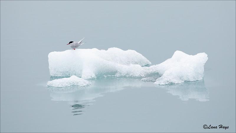 Arctic Tern on Iceberg