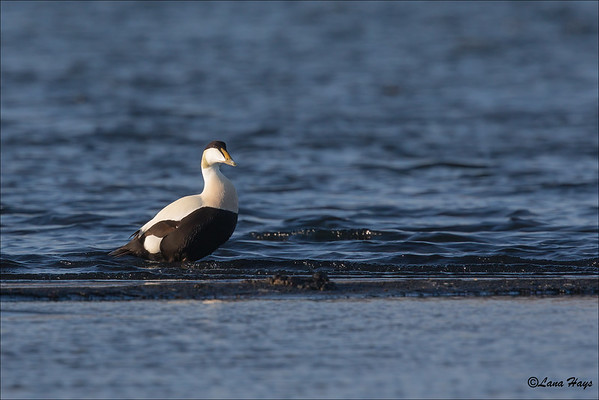 Common Eider - male