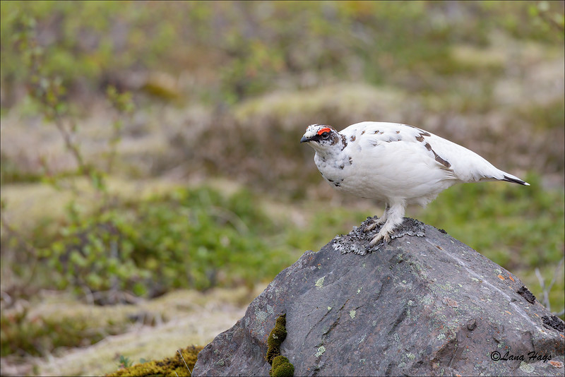 Rock Ptarmigan - male