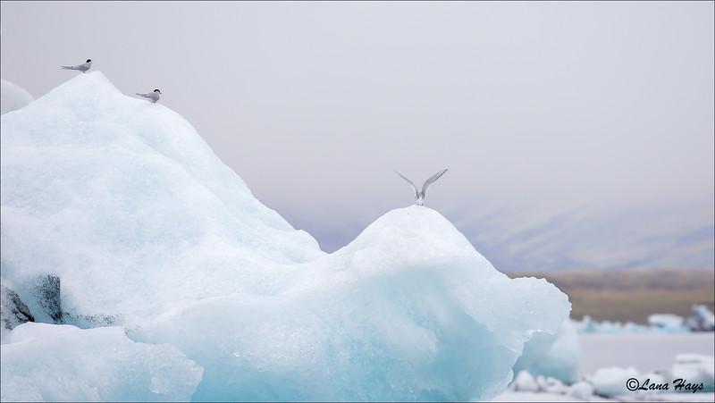 Jökulsárlón Glacier Lagoon - Icebergs and Arctic Terns
