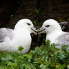 Northern Fulmar Lovers