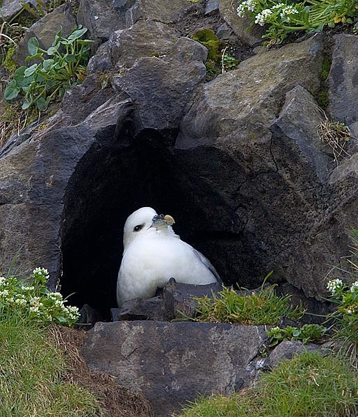Northern Fulmar in Nest Cavity