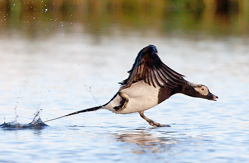 Long tailed Duck Taking Off