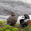 Harlequin Ducks Male and Female