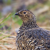 Rock Ptarmigan Female