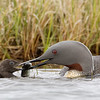 Red throated Loon Feeding Chick