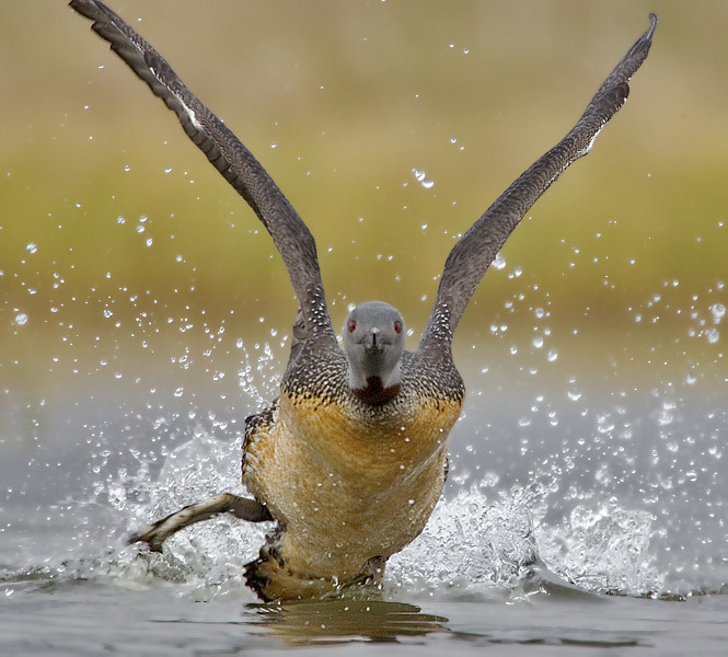 Red throated Loon Taking Off