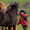 Young Child Handling the Icelandic Horse