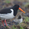 Oystercatcher and Chick