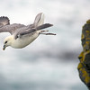 Northern Fulmar Cliff Diving