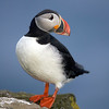 Still an Atlantic Puffin
