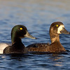 Greater Scaup Male and Female