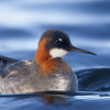 Red necked Phalarope Female