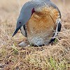 Red throated Loon on Nest/See the Egg