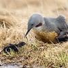 Red throated Loon and Chick