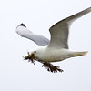 Kittiwake with Nest Material