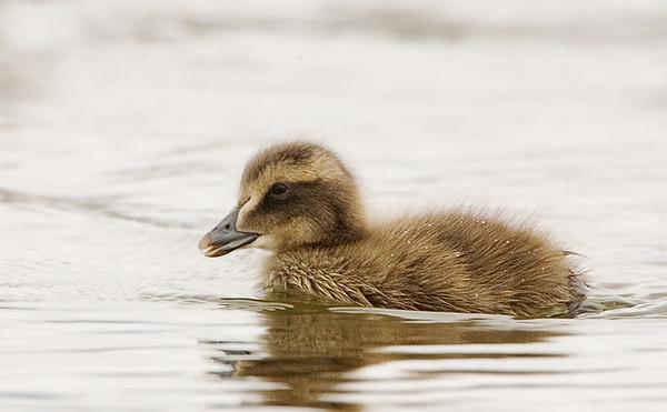 Common Eider Chick