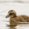 Common Eider Chick