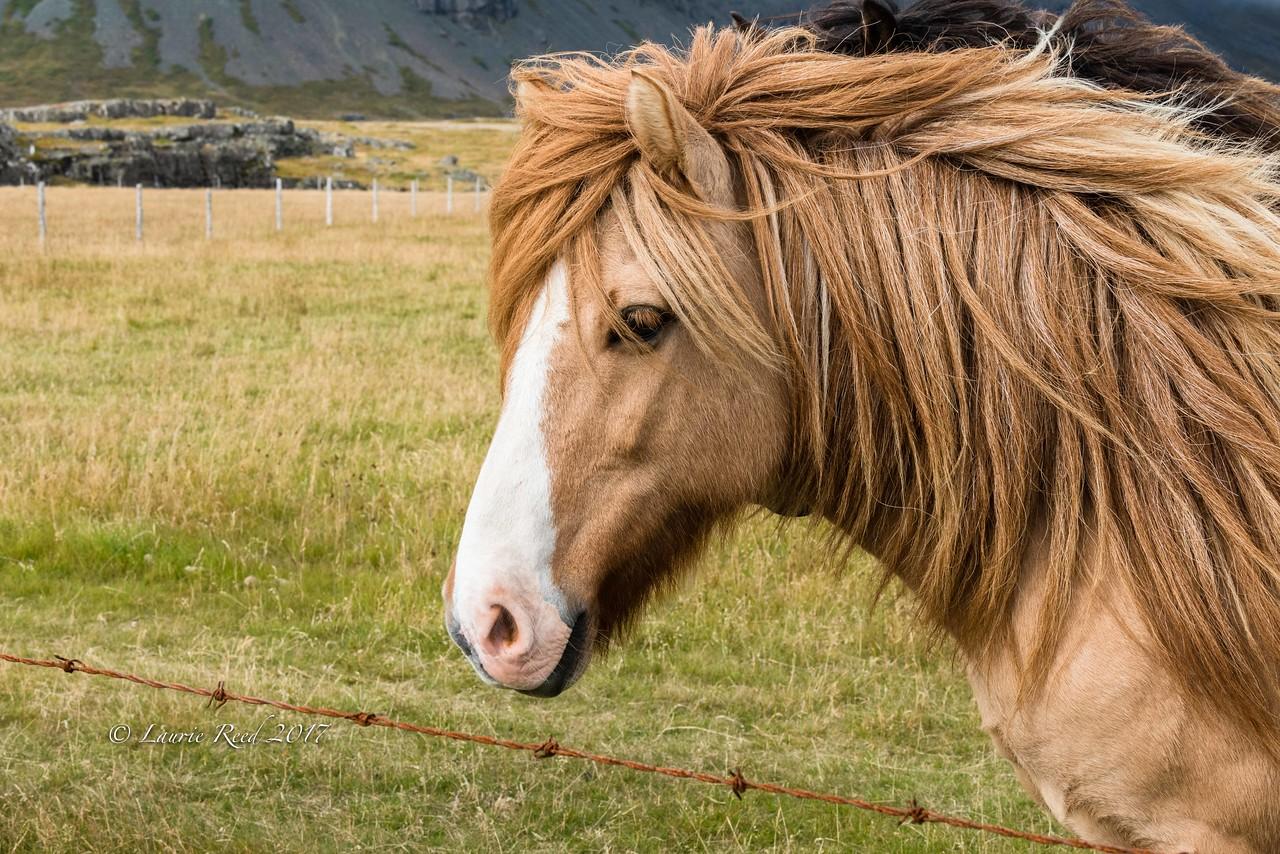 Icelandic horse along the south coast