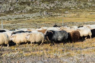 Fall sheep round-up near Fluðir