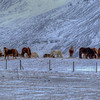 Horses In The Snow, North Iceland