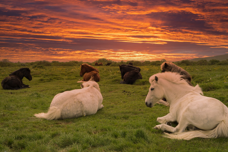 Horses At Sunset, South Iceland