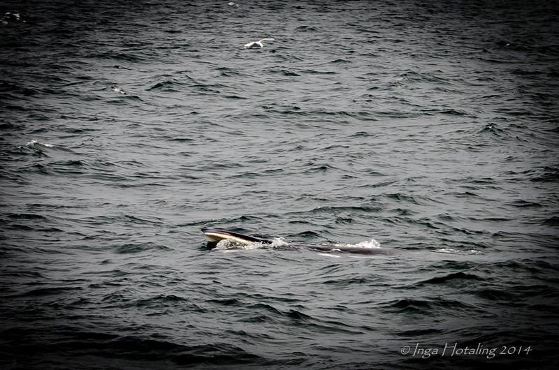 Minke Whale - Elding Whale Watch - Reykjavik Iceland