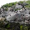 Gjesværstappan Nesting Cliffs Nordkapp
