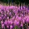 Lofoten Island wildflowers