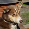 Huskies at Villmarkssenter