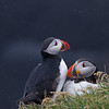 Atlantic puffin (Fratercula arctica)_10