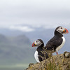 Atlantic puffin (Fratercula arctica)_8