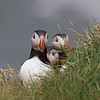 Atlantic puffin (Fratercula arctica)_3