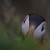 Atlantic puffin (Fratercula arctica)_2