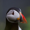 Atlantic puffin (Fratercula arctica)_1