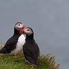 Atlantic puffin (Fratercula arctica)_9