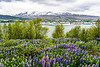 A view of cruise ships in port with wildflowers near Akureyri, Iceland, Europe.