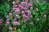 Akureyri Wild Flowers